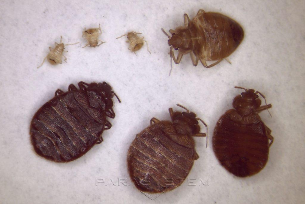 punaise de la nymphe a la taille adulte